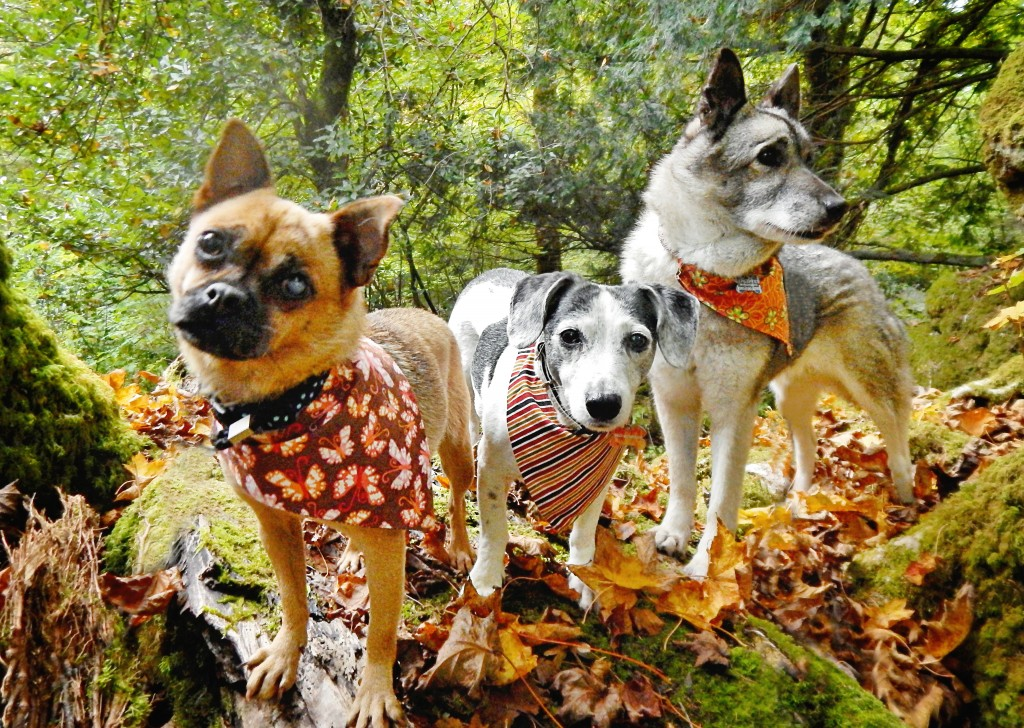 Tumble (left) was found abandoned and now lives happily with her two canine companions. She is on the September page of our 2018 Calendar.